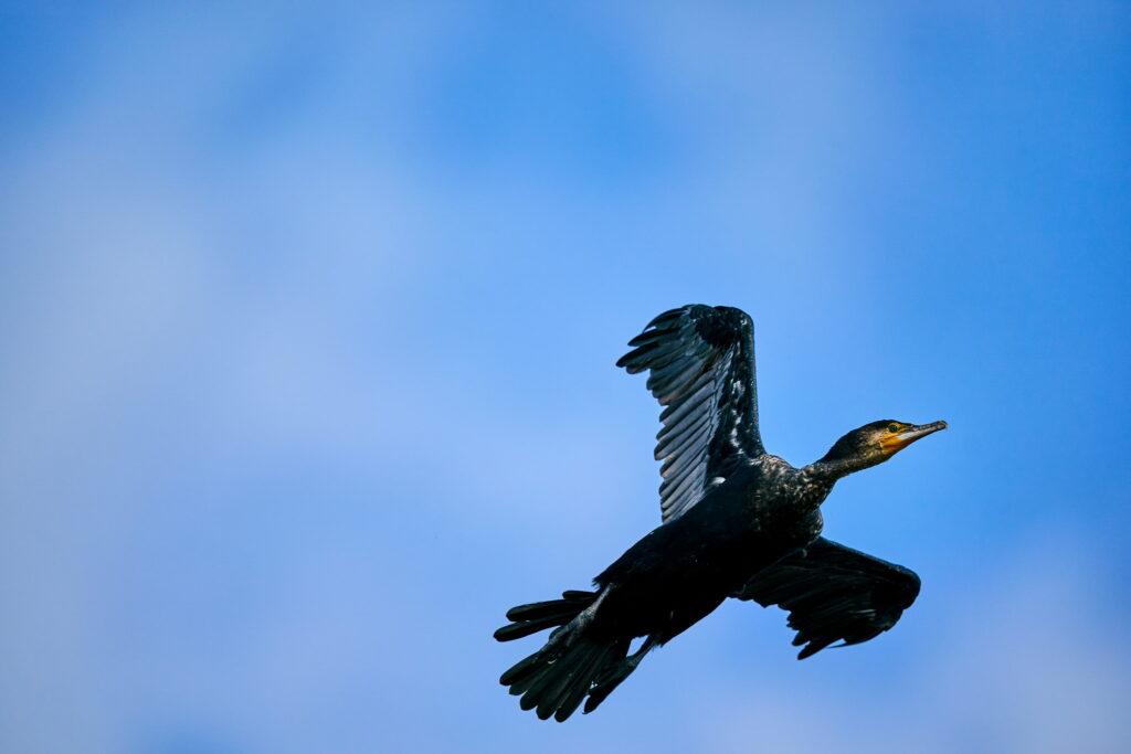 cormoran in zbor
