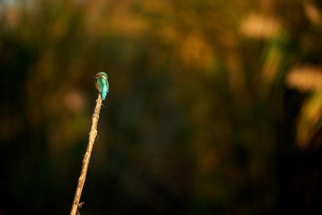 Kingfisher la apus