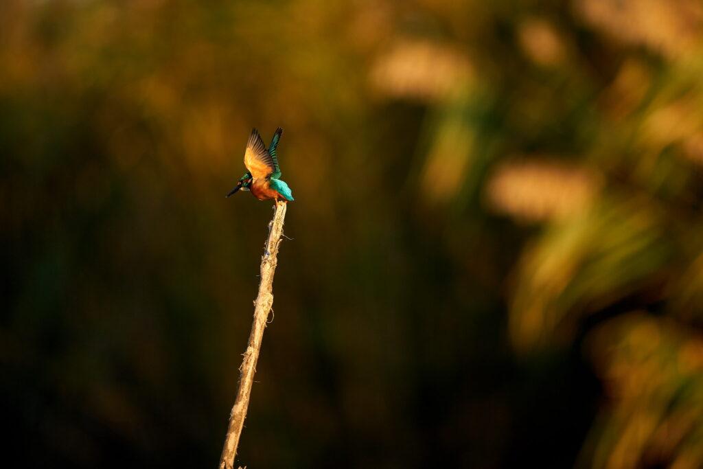 Kingfisher pe o creanga