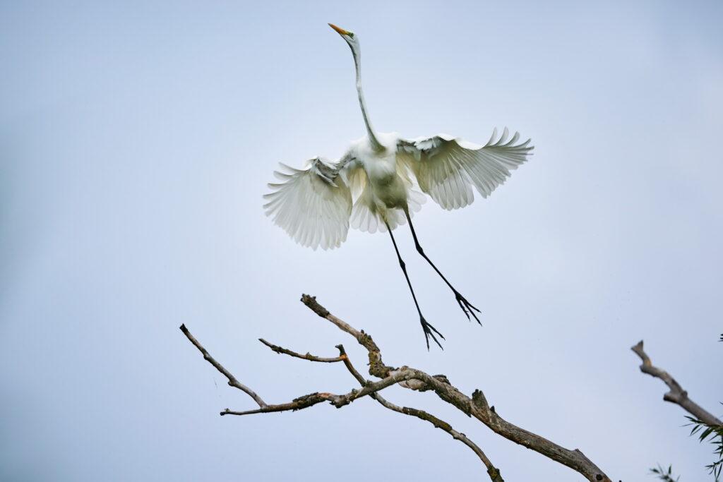 egreta in elan zbor