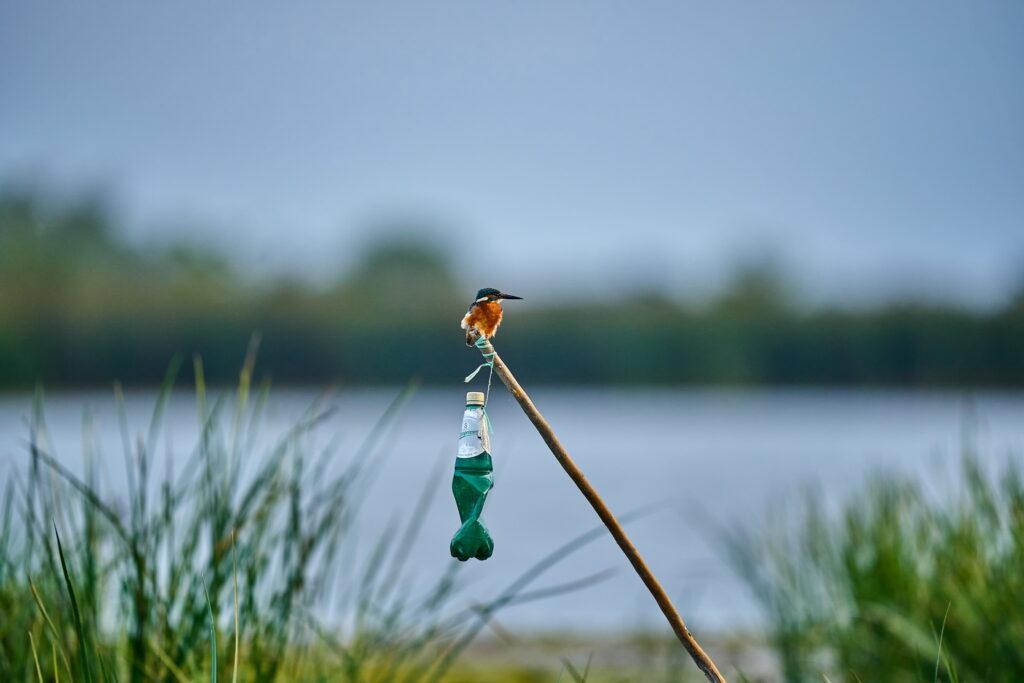 familia Alcedinidae Kingfisher