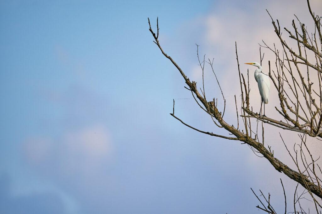 egreta la apus