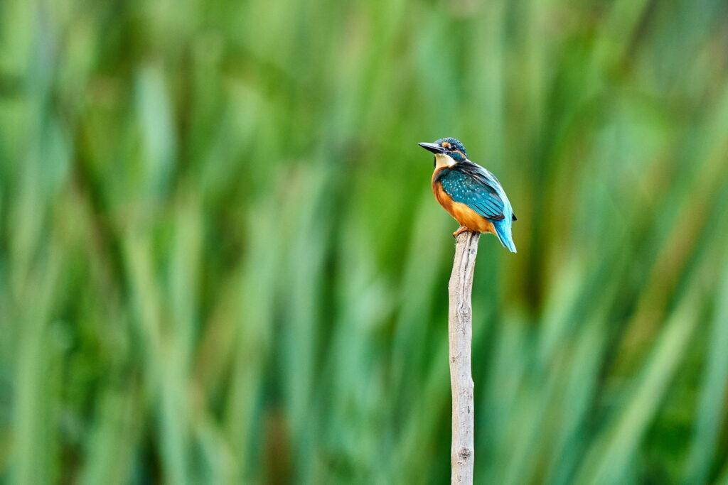 Pescăraș albastru