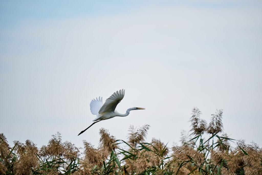 Egreta in zbor