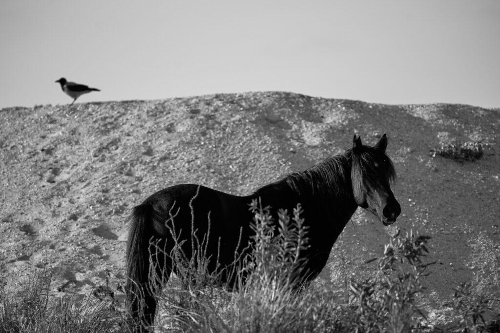 un cal si o cioara